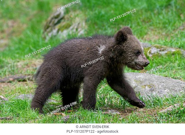 Brown bear (Ursus arctos) cub walking