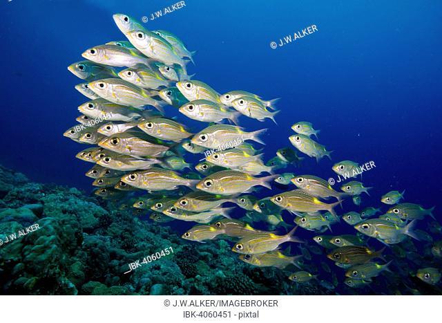 Goldspot Seabreams or Striped Large-eye Breams (Gnathodentex aureolineatus), Palau