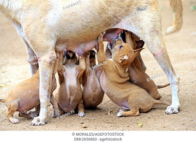 Myanmar, Mandalay State, Bagan, dog, mother milking the babies