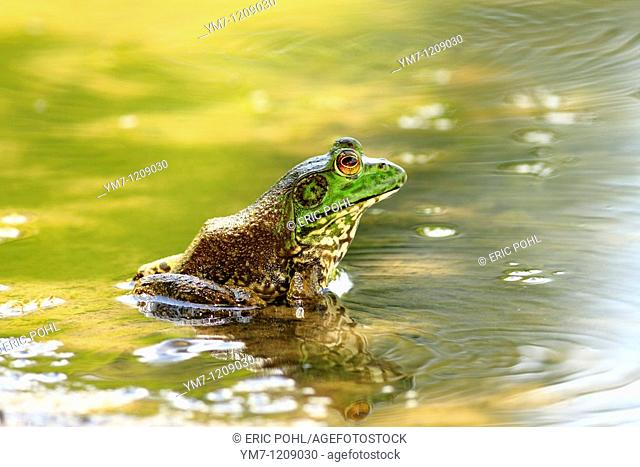 American Bullfrog Rana catesbeiana - Lavaca County, Texas, USA  Mature male in summer