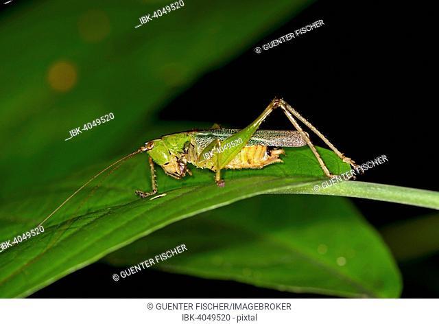 Katydid (Tettigoniidae spec.), Tambopata Nature Reserve, Madre de Dios Region, Peru