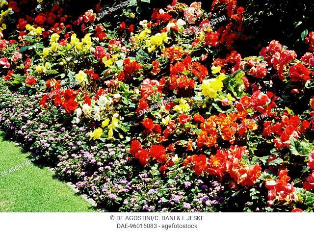 Tuberous Begonia (Begonia x tuberhybrida), Begoniaceae, and Flossflower or Bluemink (Ageratum houstonianum), Asteraceae