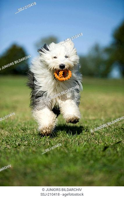 Old English Sheepdog. Adult fetching a toy. Germany