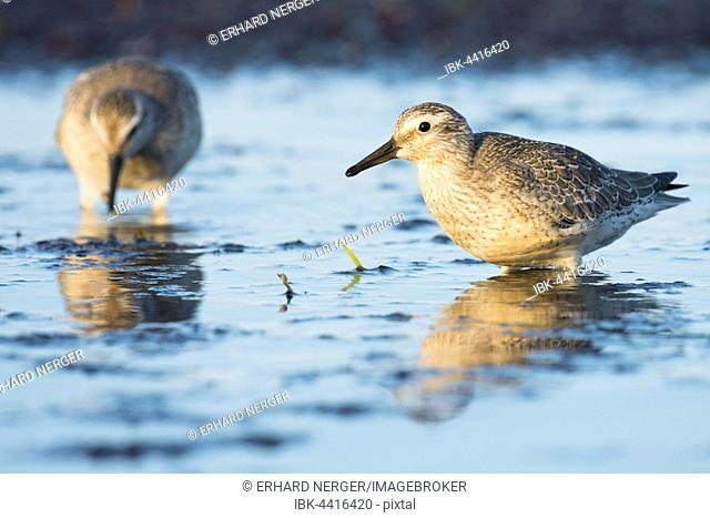 Red knots (Calidris canutus) standing in shallow water in Darss, Mecklenburg-Western Pomerania, Germany