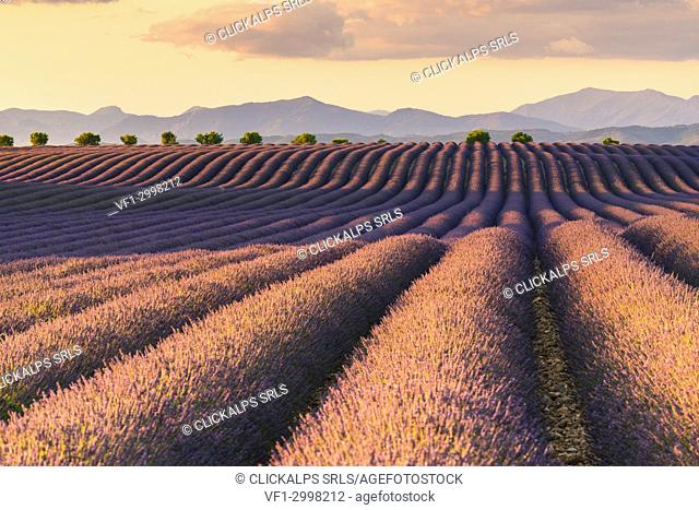 Valensole,Provence,France