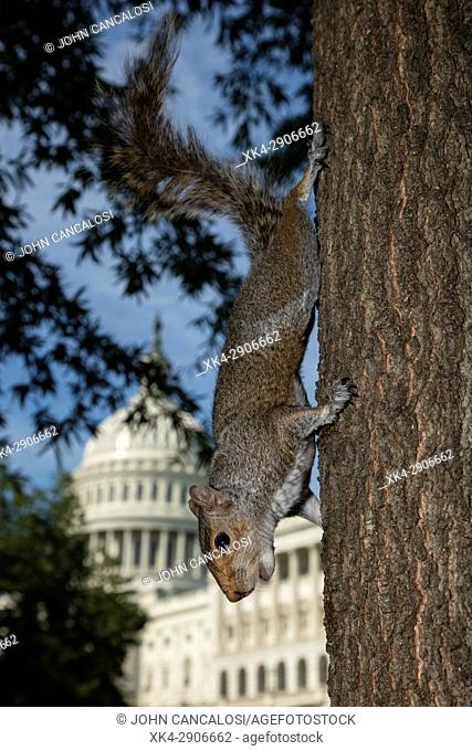 Gray squirrel (Sciurus carolineses), Washington DC, with U.S. capitol building in the background, foreground slightly retouched