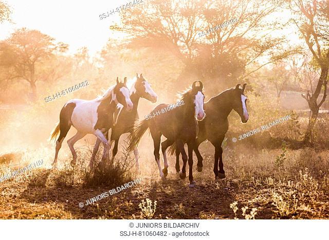 Marwari Horse. Group trotting in evening light. India