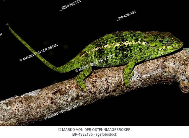 Amber Mountain chameleon (Calumma amber), female, Amber Mountain National Park, northern Madagascar, Madagascar