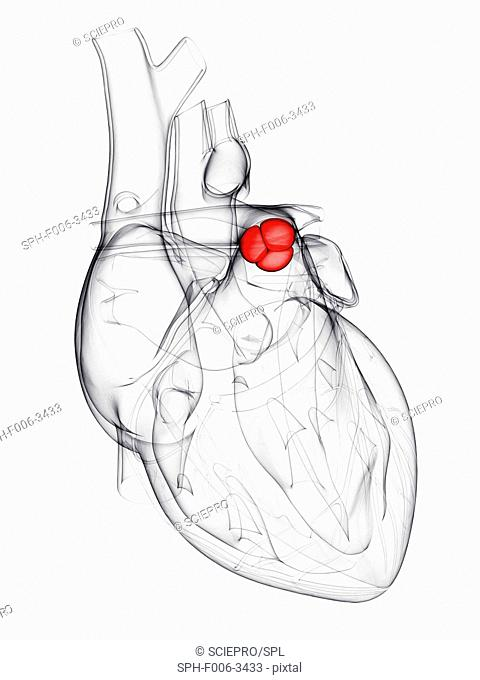 Heart valve. Computer artwork showing the pulmonary valve