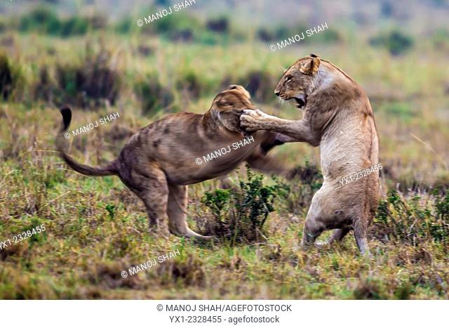 Lionesses play fighting just before sunrise, Masai Mara National Reserve, Kenya