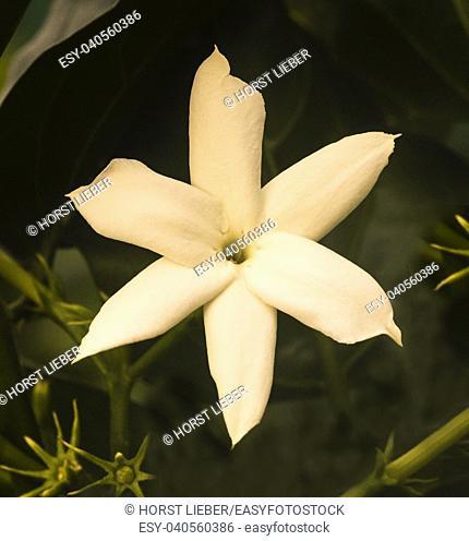 White Arabian jasmine flowers. Botanical Garden, KIT, Karlsruhe, Germany, Europe