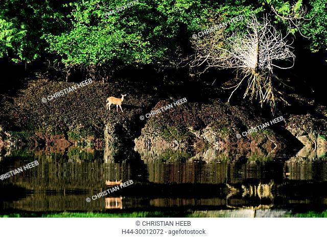 North America, Canada Canadian, British Columbia, Queen Charlotte Islands, West Coast, Haida Gwaii, Gwaii Haanas National Park Reserve , Black Tail Deer