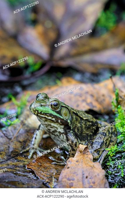 Green Frog (Rana clamitans) at Tiny Marsh Provincial Wildlife Area near Elmvale, Ontario, Canada