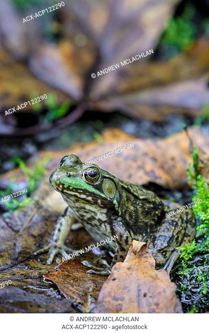 Green Frog (Rana clamitans) at Tiny Marsh Provincial Wildlife Area near Elmvale, Ontario, Canada