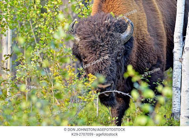 Wood Buffalo/Bison (Bison bison athabascae) Roadside bull , Wood Buffalo National Park , Alberta, Canada