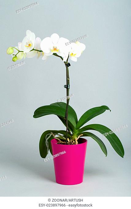 romantic white orchid