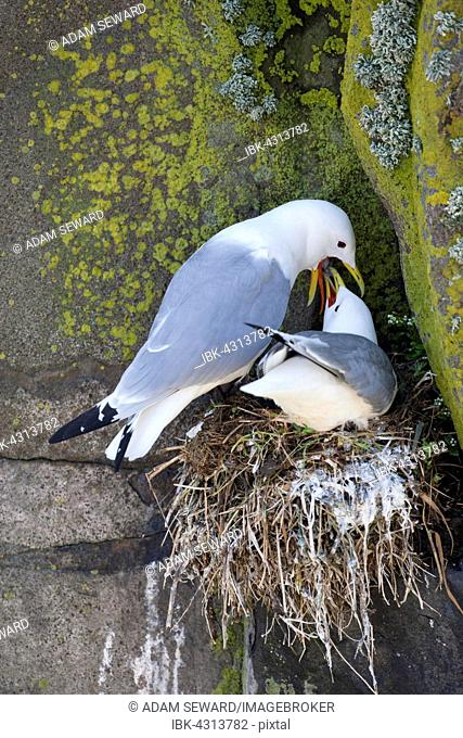 Black-legged Kittiwake (Rissa tridactyla) adult male regurgitating food for adult female at nest, Isle of May, Fife, Scotland, United Kingdom