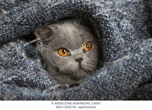 Grey British cat indoors