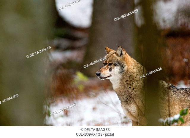 Grey wolf (Canis lupus) snowy forest, Bavarian forest national park, Bavaria, Germany