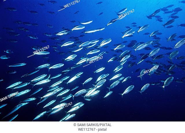 School of Sardines Sardina Pilchardus swimming in deep blue ocean waters