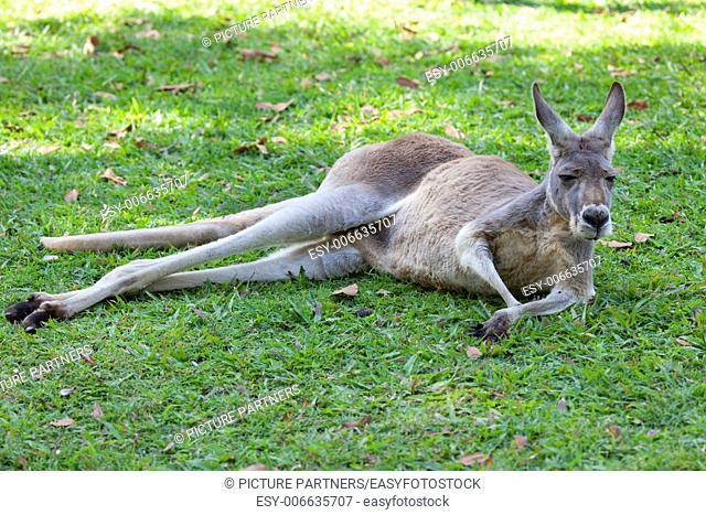 Red Kangaroo lying in the grass, Queensland, Australia