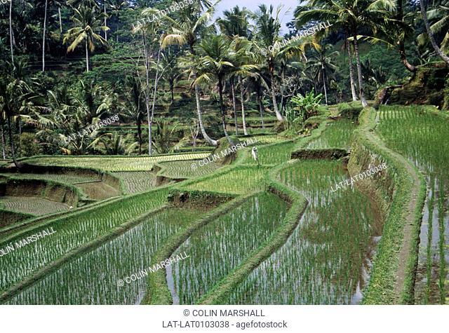 Ubud. Paddyfields,padi. Terraces. Shallow water. Rice crop planted. Man on wall. Palm trees