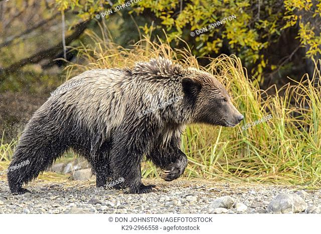 Grizzly bear (Ursus arctos)- Yearling cub on shore of the Chilko River. Chilcotin Wilderness, British Columbia BC
