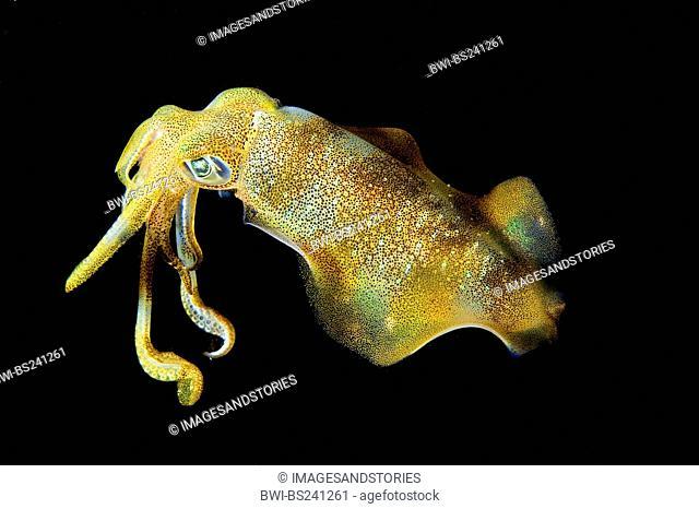 Bigfin reef squid, Calamari squid Sepioteuthis lessoniana, hunting at night, Indonesia, Bali