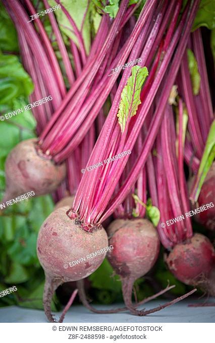 Freshly harvested beets (beta vulgaris)
