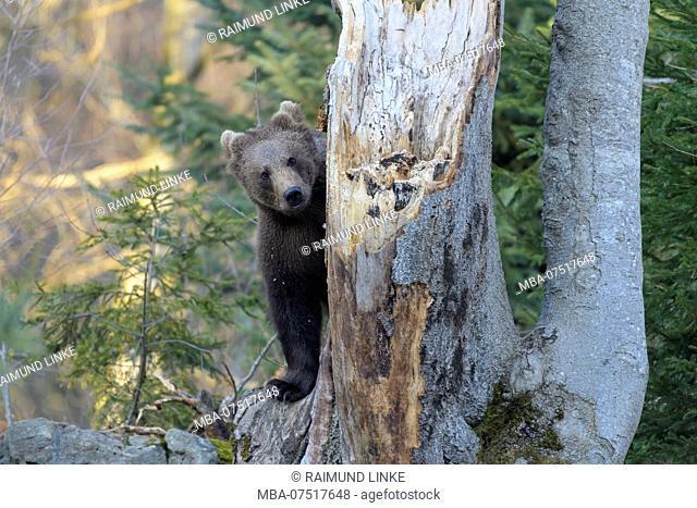 Brown bear, Ursus arctos, cub on tree, Germany