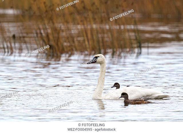 USA, Alaska, Trumpeter Swan and Stellers Eider in water