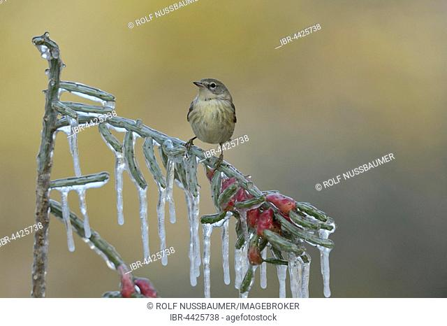 Pine warbler (Setophaga pinus), juvenile female perched on icy branch of desert Christmas cactus (Cylindropuntia leptocaulis), Hill Country, Texas, USA