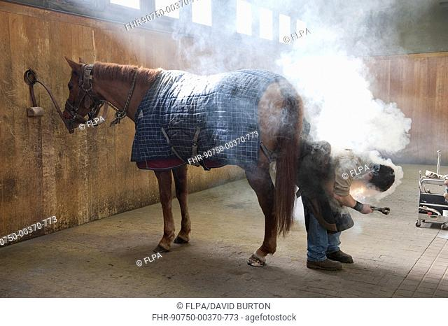 Farrier shoeing horse, Haras du Pin, Normandy, France, March