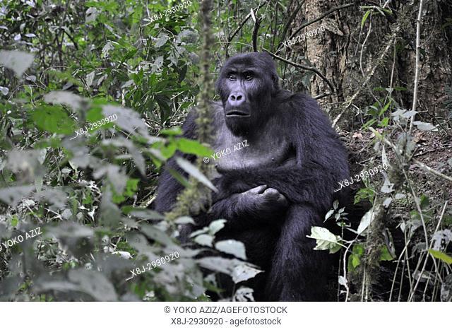Democratic Republic of Congo, Khauzi-Biega National Park, Low Land Gorilla Family