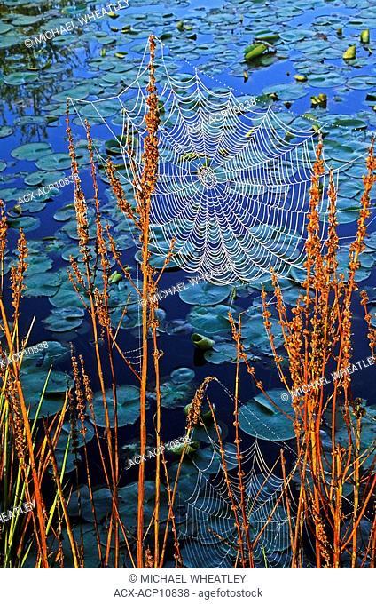 dew on orb webs, Burnaby Lake Regional Park, Burnaby, British Columbia, Canada