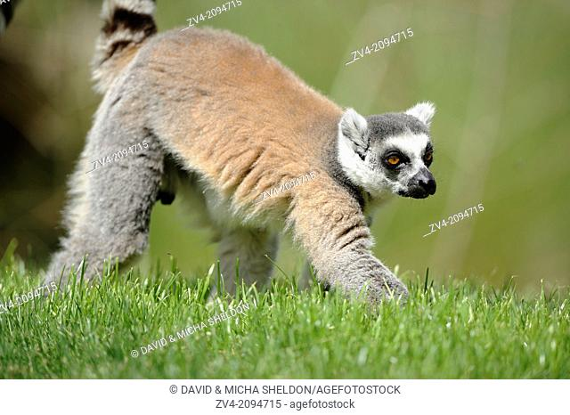 Close-up of a ring-tailed lemur (Lemur catta) on the ground
