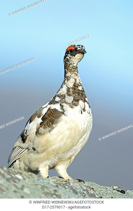Ptarmigan (Lagopus mutus). Male perched on a rock. Iceland