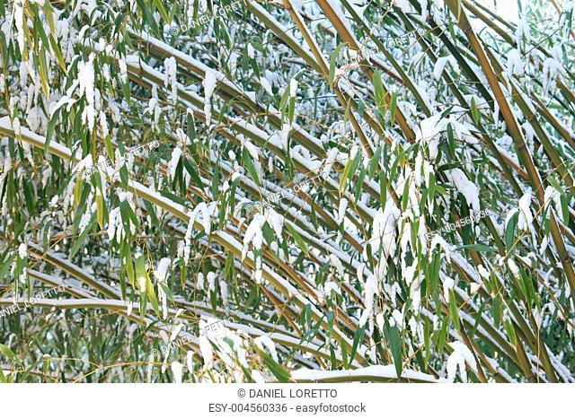 Frost On Bamboo Leaves Stock Photos And Images Age Fotostock