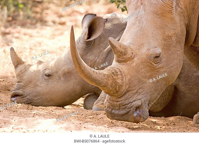 white rhinoceros, square-lipped rhinoceros, grass rhinoceros (Ceratotherium simum), two individuals, portrait, South Africa