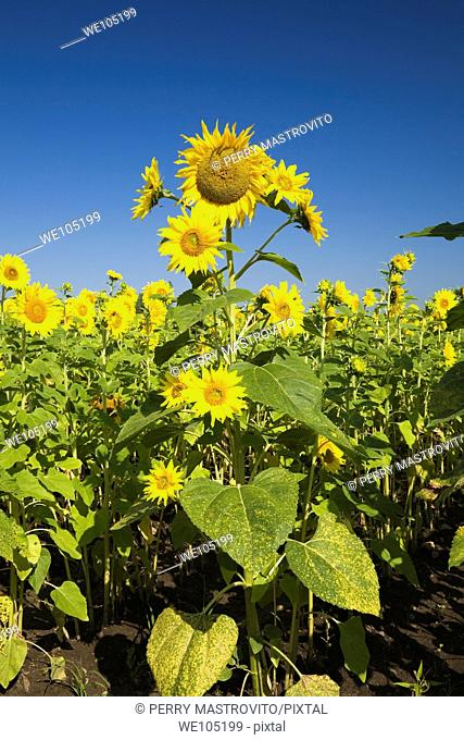 Field of Sunflowers, Laval, Quebec, Canada