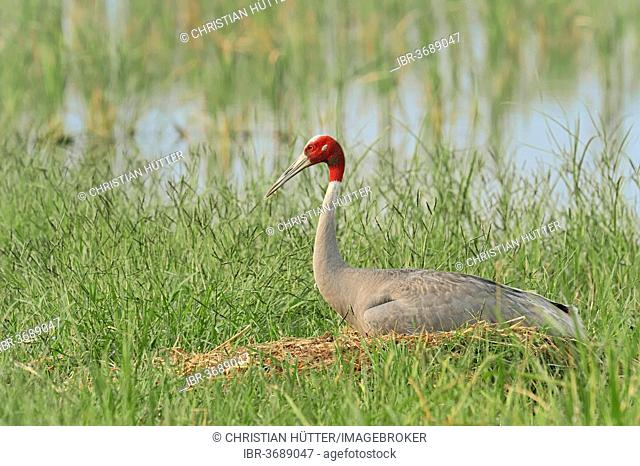 Sarus Crane (Grus antigone), incubating eggs on the nest, Rajasthan, India