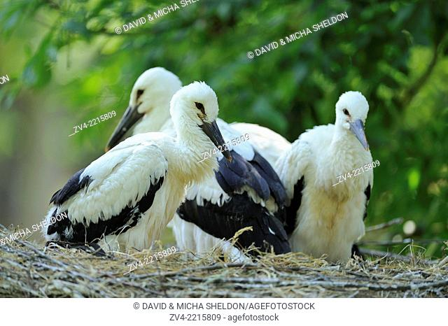 Close-up of a group of young white storks (Ciconia ciconia) on a nest in spring