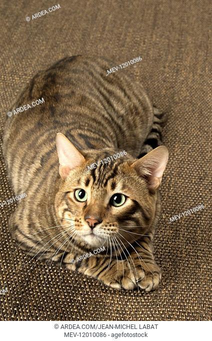 Toyger cat indoors