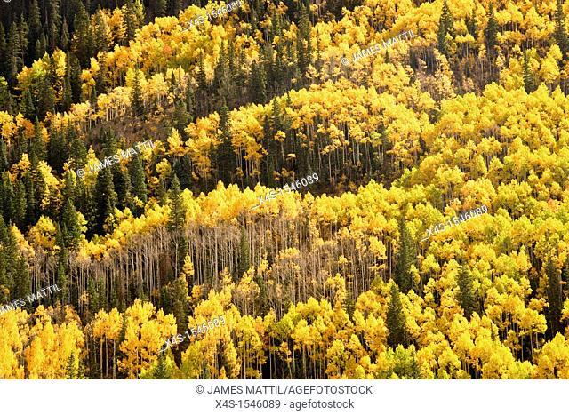 The brilliant, vivid color of Colorado aspen trees in autumn