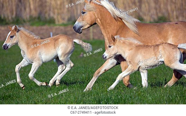 Haflinger mare and two foals running in meadow. Norfolk England UK