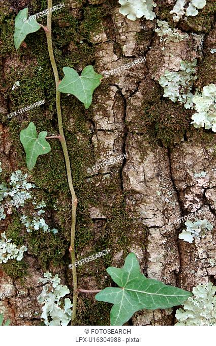 Detail of tree trunk - bark with dark green moss, light green lichen and ivy vine