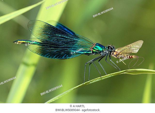 banded blackwings, banded agrion, banded demoiselle Calopteryx splendens, Agrion splendens, male eating mayfly, Germany, Bavaria, Isental