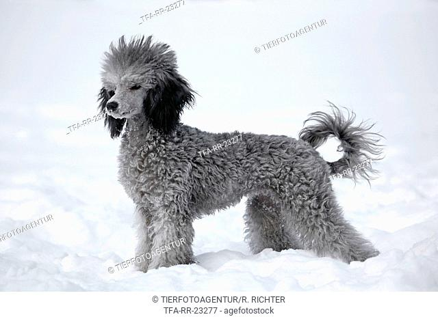 silver poodle in snow
