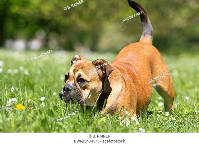 Continental Bulldog (Canis lupus f. familiaris), six month old she dog in a meadow, invitation to play, Germany