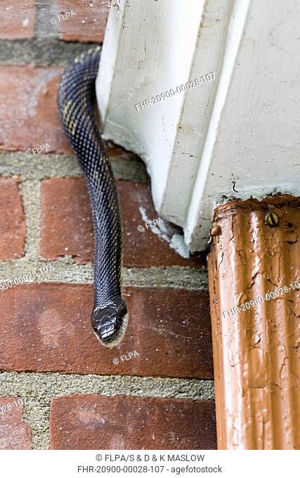 Black Ratsnake Elaphe obsoleta adult, decending from house gutter, U S A